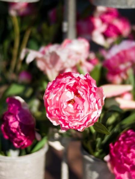 carnation-frenzy2.jpg