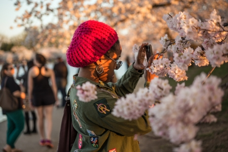 CherryBlossom2014b