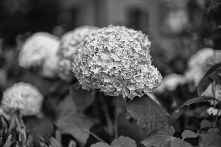 Hydrangea Frenzy 2014b