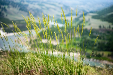 Yellowstone Grass