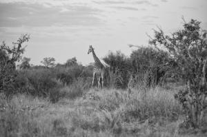 TF Giraffe