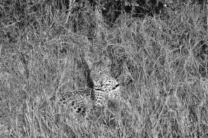 TF Leopard Grass