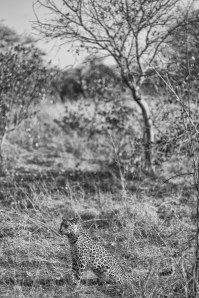 TF Leopard Portrait