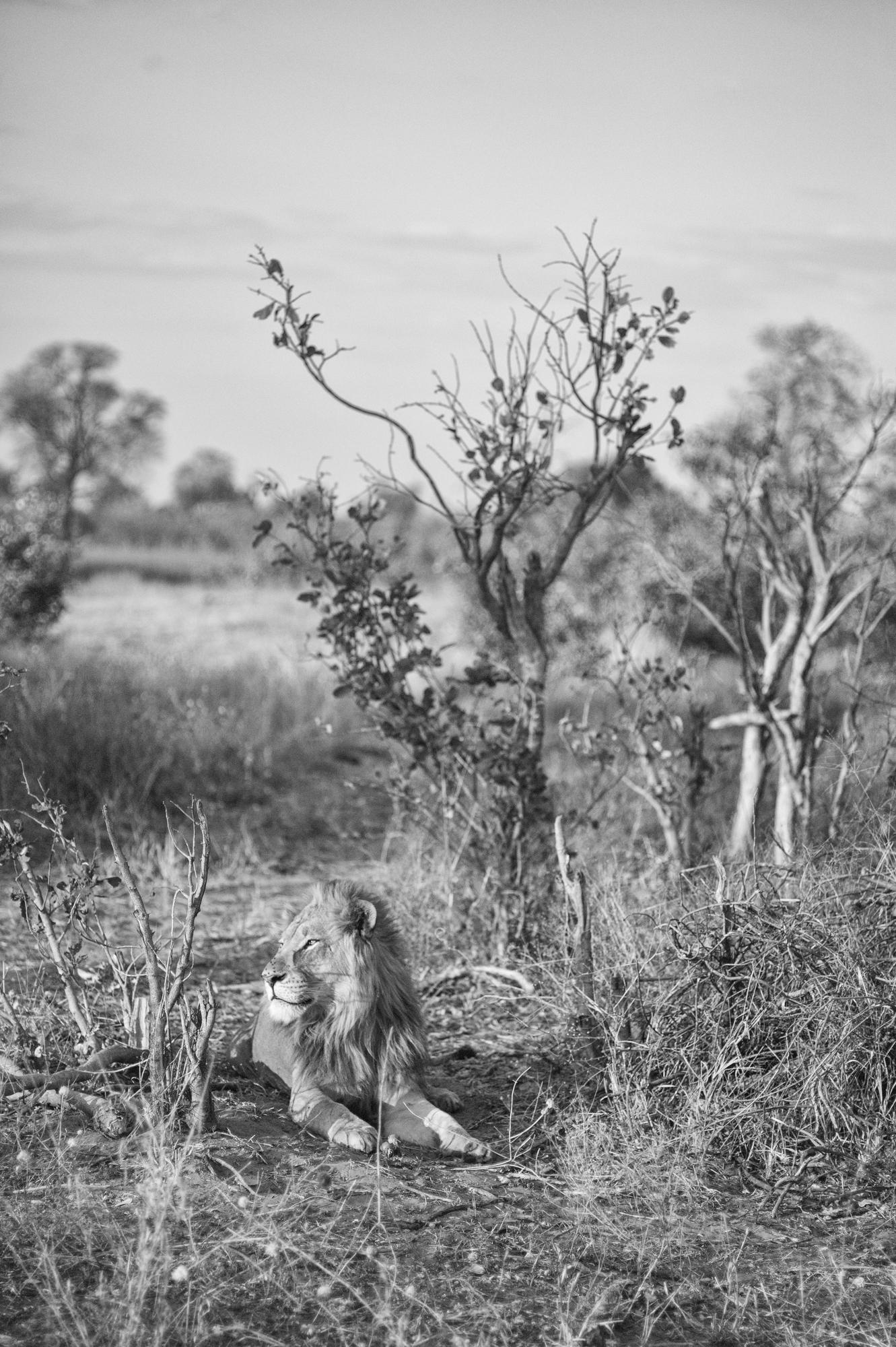 TF Lion Portrait
