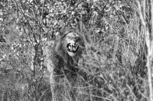 TF Lion Teeth