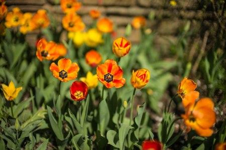 2015 Tulips-3
