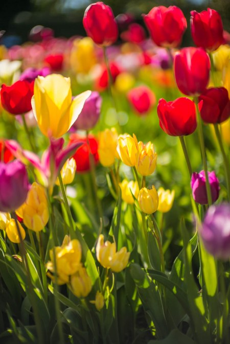 2015 Tulips Supplement 1
