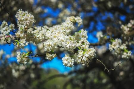 Cherry Blossom Frenzy 2016 2