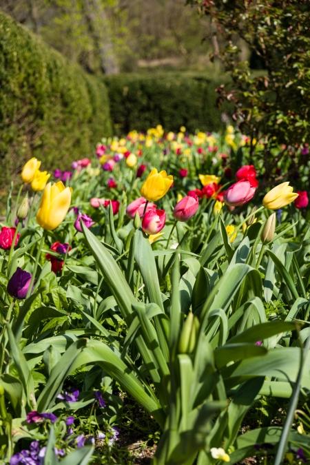 SL Dumbarton Tulip