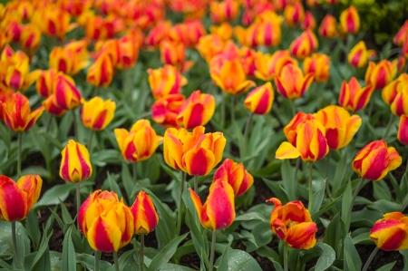 Tulip Frenzy 2016-2