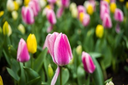Tulip Frenzy 2016-3