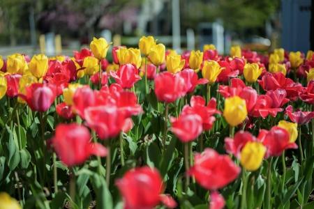 Tulips 17 Sunday-6