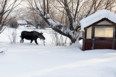 Moose Story-10