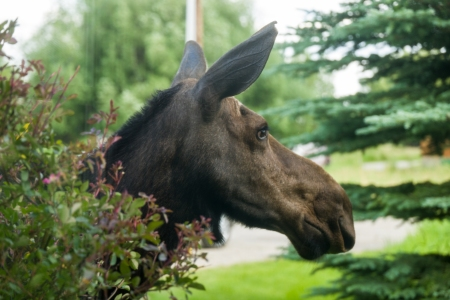 Moose Story-12