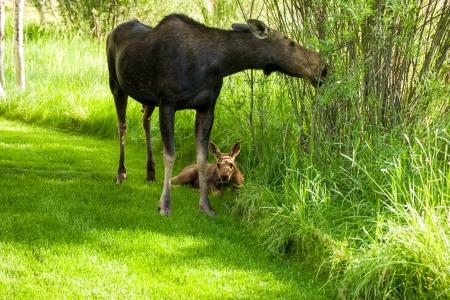 Moose Story-2