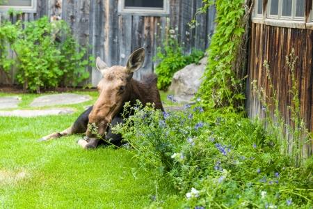 Moose Story-8