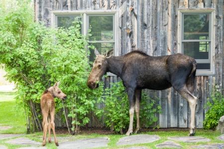 Moose Story-9