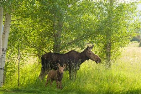 Moose Story