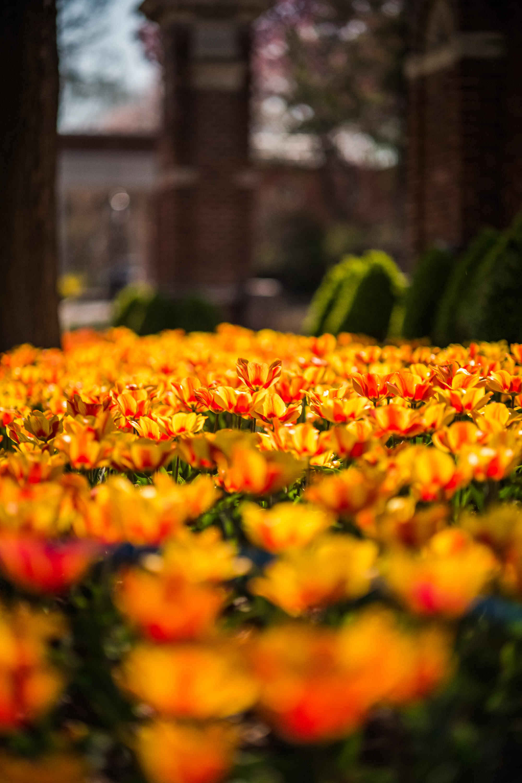 Tulip Frenzy 18-2