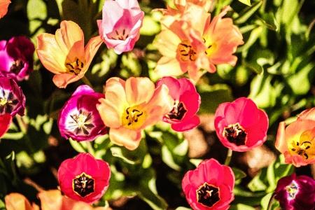 Tulip Frenzy 18-4