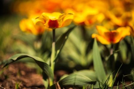 Tulip Frenzy 18-6