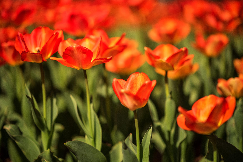 Tulip Frenzy 18-8