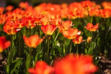 Tulip Frenzy 18-9